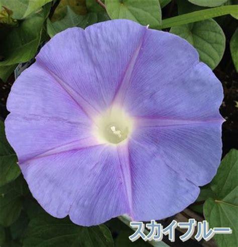 Morning Pharbitis Nil T1310 chigusa rakuten global market ryukyu morning pharbitis nil seedlings