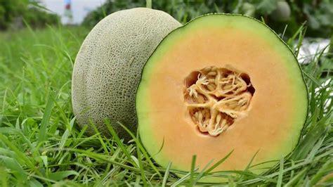 Benih Melon Madesta F1 melon madesta f1 rock melon berdaging oranye dadi makmur