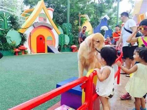 golden retriever singapore singapore news today singapore zoo response to show incident golden retriever