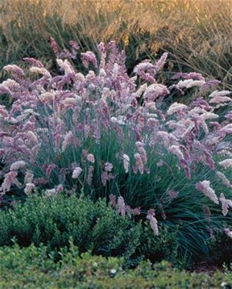 Full Sun Container Garden Ideas - 9 new and unusual grasses fine gardening