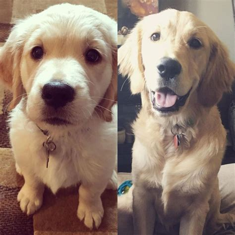 2 month golden retriever best 25 7 month olds ideas on 7 month baby 6 month olds and 7 months