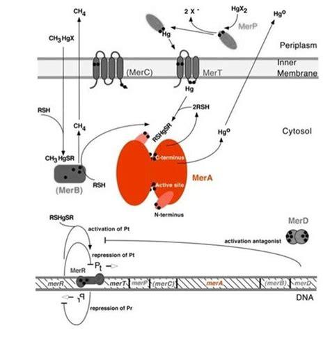 Thiol Resins Mercury Detox by Part Bba K1420001 Parts Igem Org