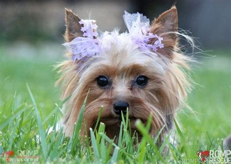 yorkie rescue toronto chicago yorkies for adoption chicago yorkie yorkies silver adopt