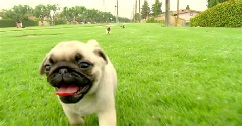 are pugs noisy pug puppies the o meter pawbuzz