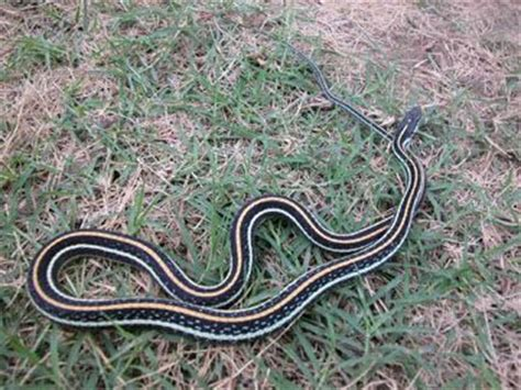 Garden Snake Oklahoma 69 Best Images About Oklahoma Snakes On