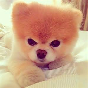 why do pomeranians cough the 25 best pomeranian boo ideas on pomeranian puppy boo and pomeranian