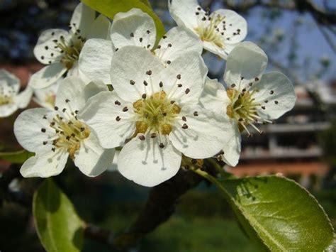 fiori melo melo da fiore malus alberi melo da fiore malus