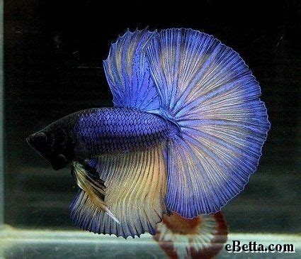 47 Best Images About Beta 47 best bettas images on water animals