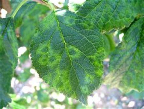 plum line pattern virus geneva experiment station helps n y fight plum pox virus
