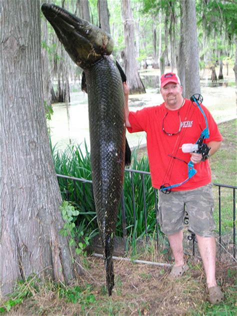 Louisiana Records Free New La State Record Alligator Gar Killed With A Bow In A