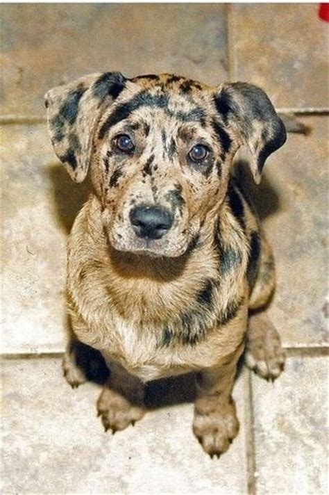 catahoula leopard mix catahoula leopard hound mix puppies galore juxtapost