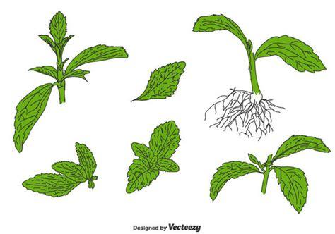 Stevia Set stevia vector set free vector 437631 cannypic