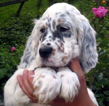 english setter dog kennels 60 most beautiful english setter dog pictures and photos