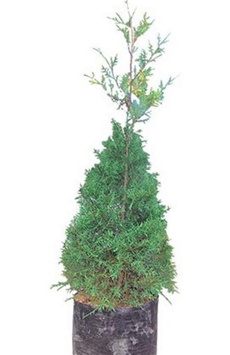 Bibit Pohon Cemara Norfolk tanaman cemara rentes bibitbunga