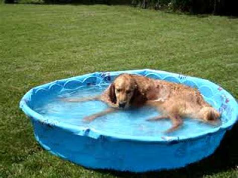 golden retrievers in pool golden retriever on a hazy lazy humid day in his pool chillin