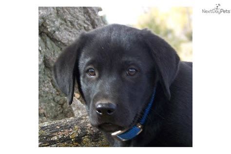 black lab puppies for sale in md akc black lab puppies for sale black labrador retriever puppy breeds picture