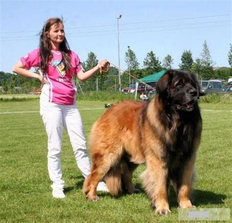 leonberger dogs world s largest breeds breed names with pictures pets world