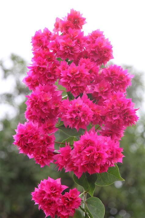 flower free flowers photos free flowers stock photos bougainvillea free flowers photos free flowers stock