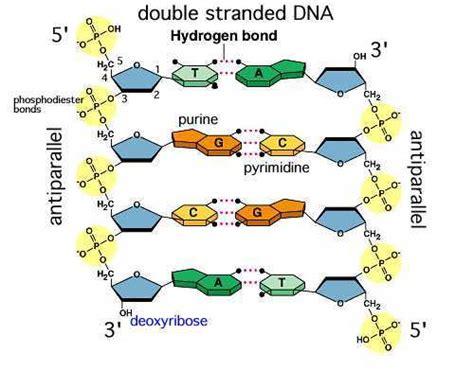 bio genetik adalah susunan nukleotida dna rna dan kromosom t 252 rkish siber