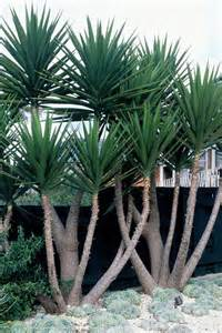 best 25 yucca plant ideas on pinterest cactus in spanish agave plant and agaves