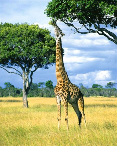 the giraffe that ate earth s internet natural networking acacia tortilis poster image of african savannas