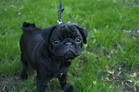 how much are boxer puppies brachycephalic dogs popular breeds nutrition health problems