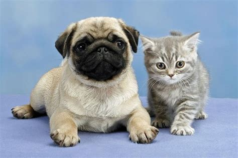 pugs and kittens pug wallpaper screensaver background pug puppy kitten pug wallpaper