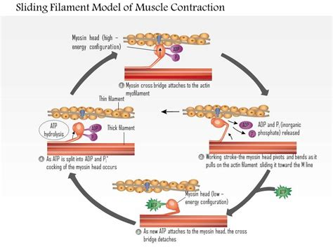 0614 sliding filament model of muscle contraction medical