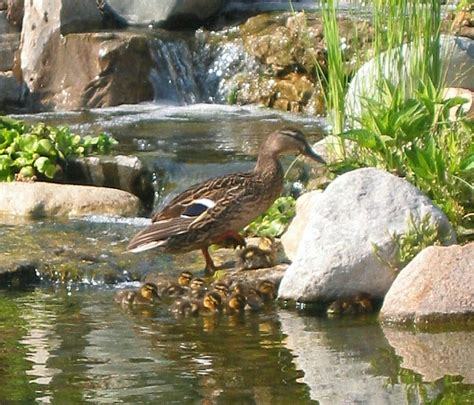 triyae backyard ponds for ducks various design