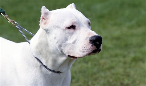 dogo puppy dogo argentino breed information