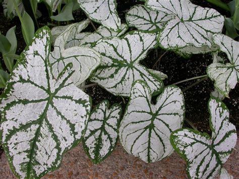 white foliage plants foliage commonweeder