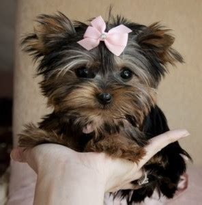 yorkies for sale in lafayette la bulldog puppies for adoption lafayette la asnclassifieds