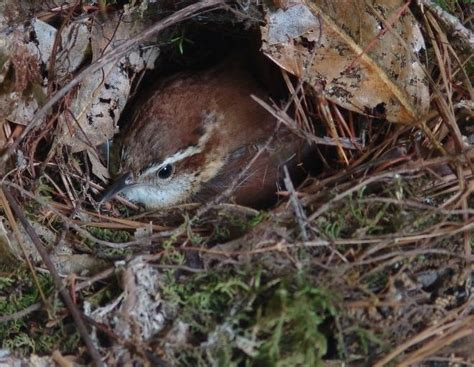 house wren nest photo