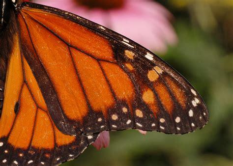 Butterfly Wings monarch butterfly wing www pixshark images