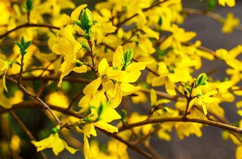 propagating forsythia plants how to grow forsythia from seed and cuttings