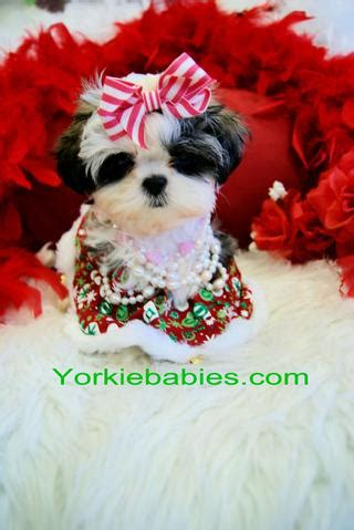 shih tzu breeders miami teacup puppies for sale teacup puppies miami teacup puppies for sale florida