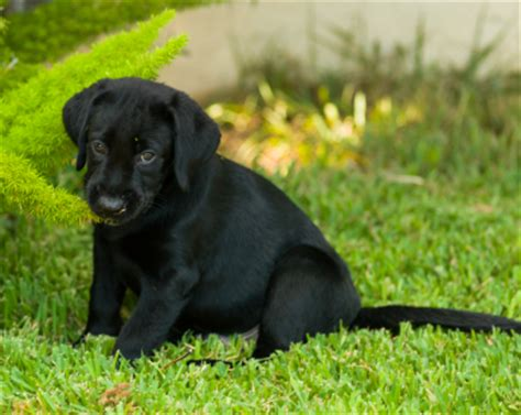9 week lab puppy nine week labrador retriever puppy faq