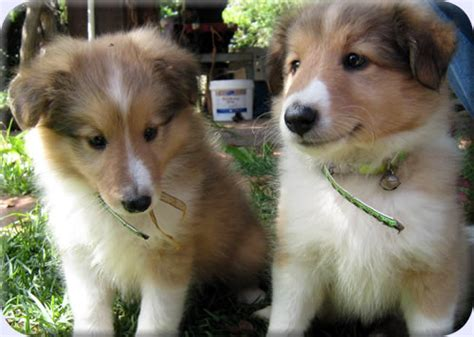 sheltie puppies for sale in indiana sheltie puppies for sale