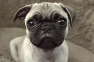 perros pug veterinarios advierten acerca de razas de perros con cara plana vix