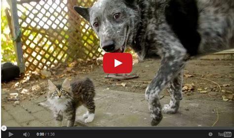 australian shepherd vs australian cattle australian cattle befriends wobbly cat