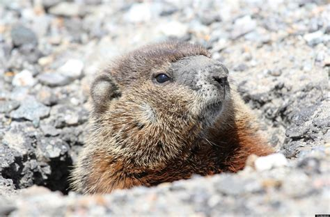 groundhog day japanese groundhogs in your garden what you should about the