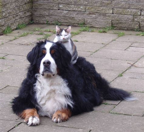 St Overal Puppy bernese breeders association of great britain general description
