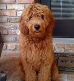 mini island doodle 130 best golden doodle grooming styles images on