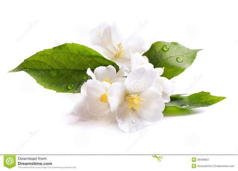 il fiore bianco fiore bianco gelsomino isolato su fondo bianco