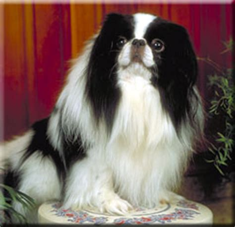 japanese chin breed information and pictures dooziedog