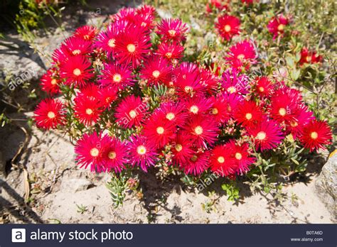 Red Flowers Mesembryanthemum Growing In A Hot Sunny Rock Rock Garden Plants Uk