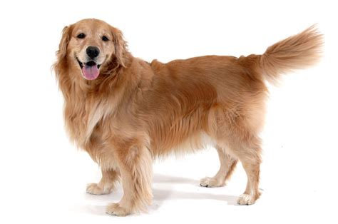 are golden retrievers easy to 21 dogs that are easy to show page 3