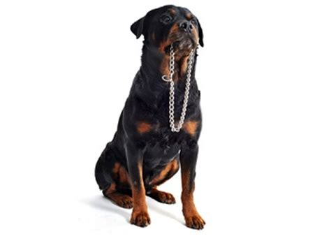 lifespan of a rottweiler rottweiler breed information facts lifespan