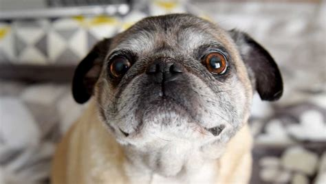 pug rescue nebraska 50 adoptions of senior pugs now thru april pug partners of nebraska