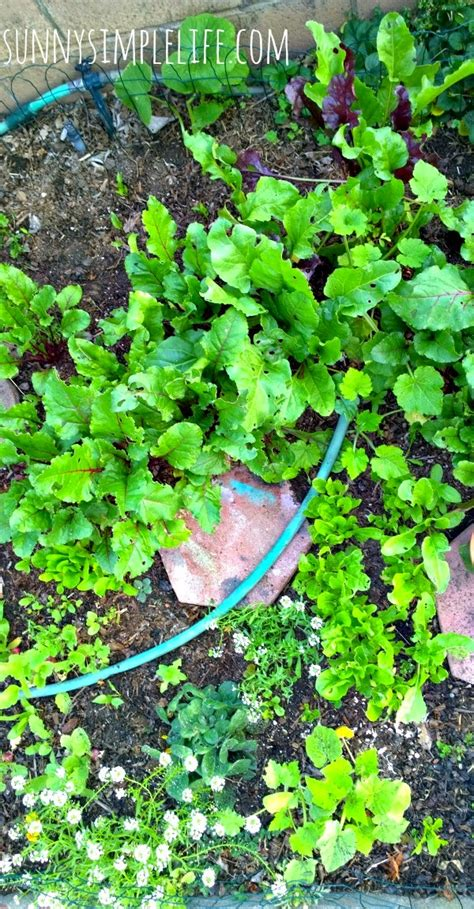 Sunny Simple Life Growing An Urban Vegetable Garden Vegetable Gardening In Southern California